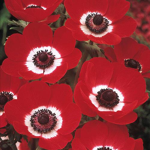 Buy Poppy Anemones Windflowers