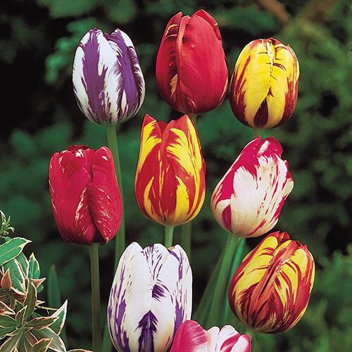 Improved Rembrandt Tulip Mixture™