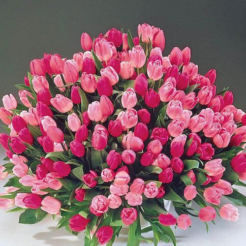 Apple Blossom™ Tulip Mixture