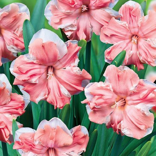 Apricot Whirl Daffodil