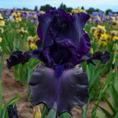 Ghost Train Bearded Iris