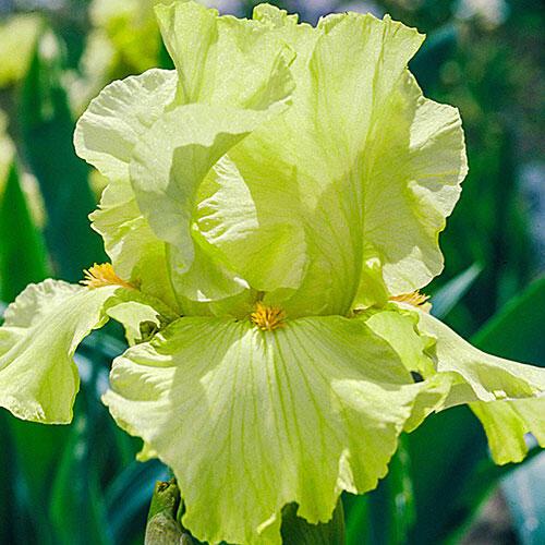 Pride of Ireland Bearded Iris