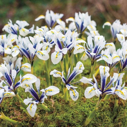 Iris Reticulata Eye Catcher