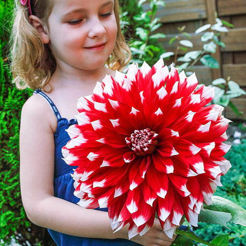 Red Empire Dinnerplate Dahlia