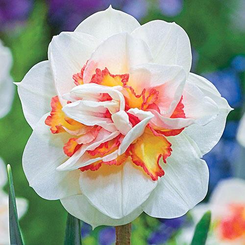 Pink Performance Daffodil