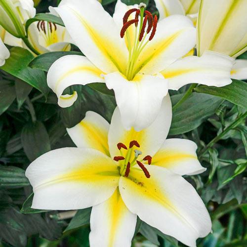 Budlight Lily Tree®