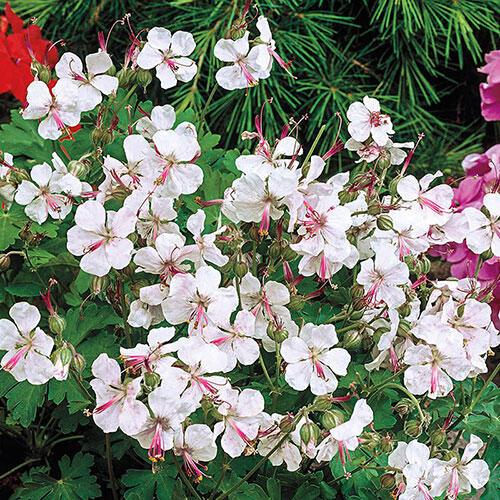 Biokovo Hardy Everblooming Geranium