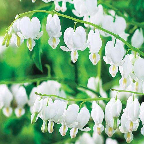 White Old Fashioned Bleeding Heart Brecks Premium Bulbs
