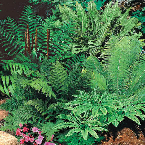 Hardy Fern Mixture Super Sak®