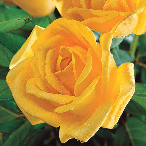 Radiant perfume grandiflora rose brecks radiant perfume grandiflora rose mightylinksfo