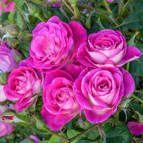 Easy to Please® Tree Rose