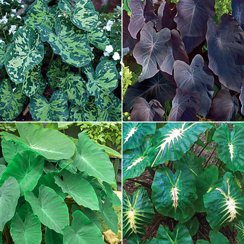 Exotic Elephant Ears Collection