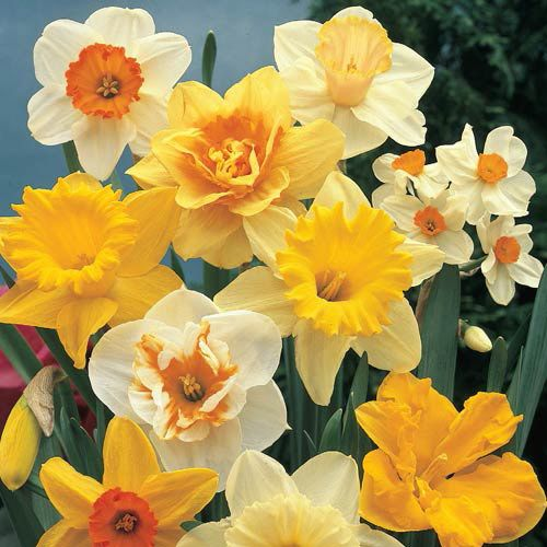 Landscape Daffodil Mixture