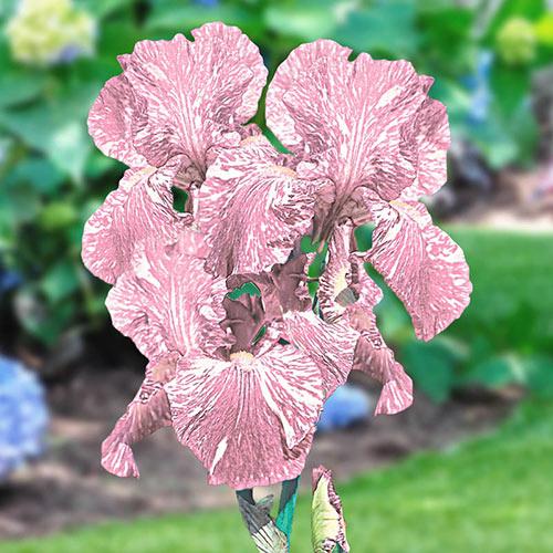 Baboon Bottom Bearded Iris