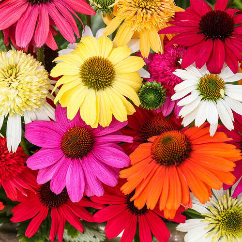 Breeder's Coneflower Mixture