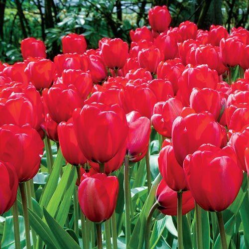 Apeldoorn Perennial Tulip