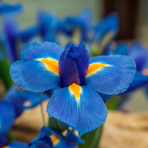 Blue Diamond Dutch Iris