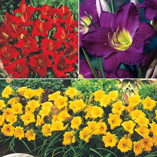 Dwarf Reblooming Daylily Collection Breckscom