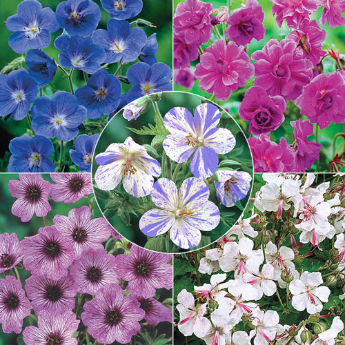 Breck's® Everblooming Hardy Geranium Collection