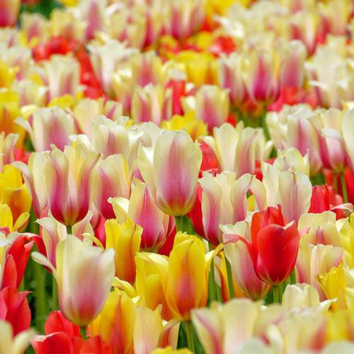 Towering Perennial Tulip Mixture Tulip