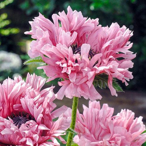Fancy Feathers Oriental Poppy