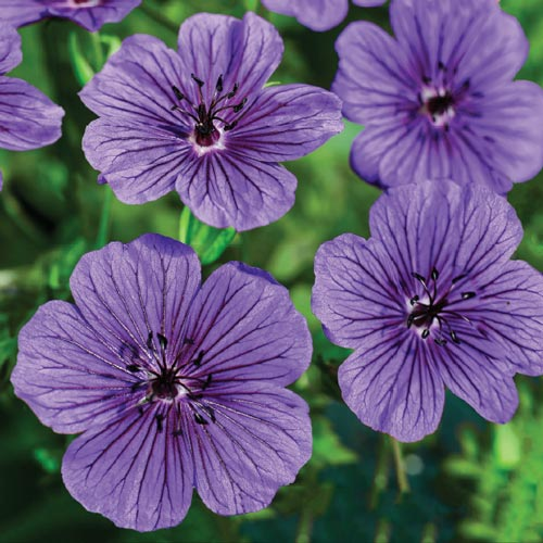Daily Purple Hardy Geranium