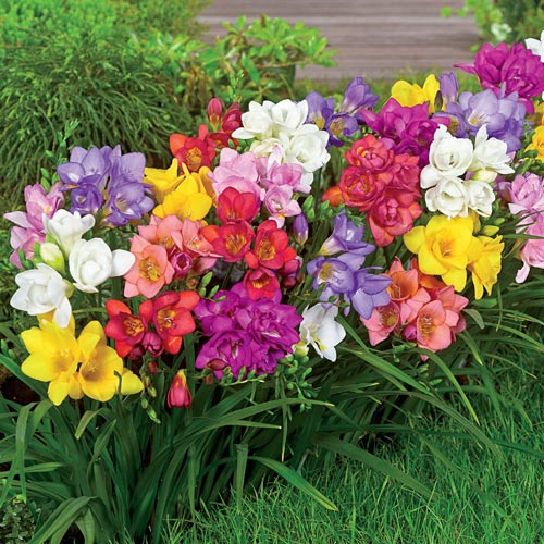 Summer Breeze Freesia Mixture