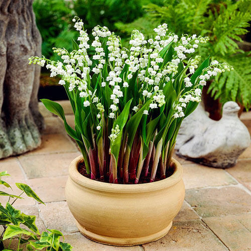 Doreen Lily Of The Valley Brecks Premium Bulbs