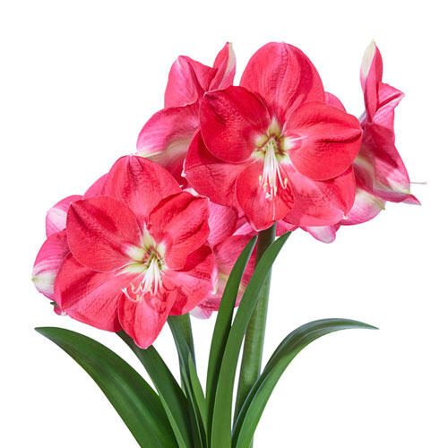 Amaryllis Candy Queen