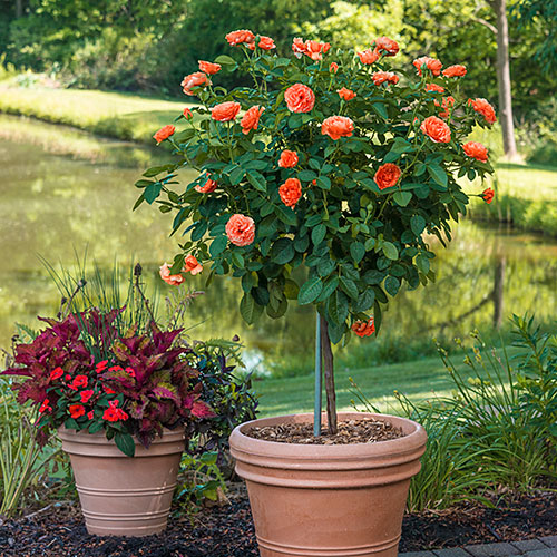 "Easy Does It™ 24"" Patio Tree Rose"