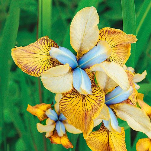 flying fiddles siberian iris brecks com