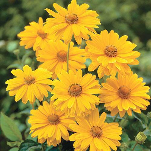 Venus False Sunflower