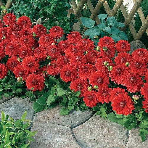 Red Carpet Border Dahlia™