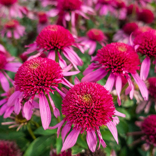 Double Scoop™ Bubble Gum Coneflower