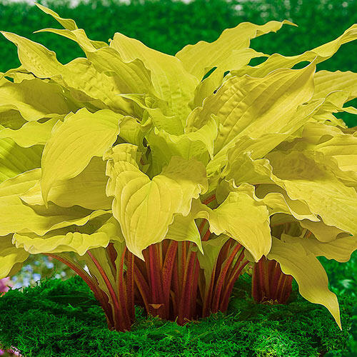 Shop Hosta Plants At Brecks