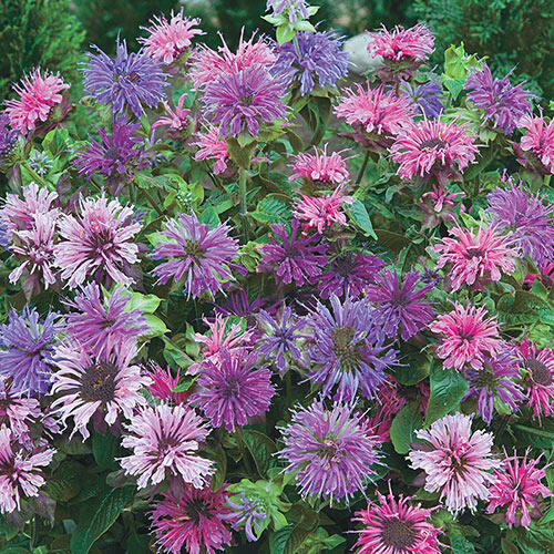 Shop for Bee Balm at Breck's