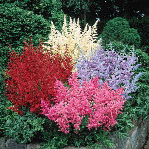 Astilbe Mixture Super Sak®