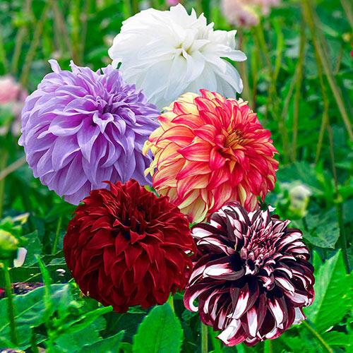 Breck\'s Best Loved Collections! - Beach Ball Dahlia Collection