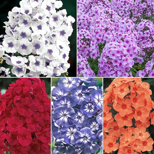 Tall Phlox Collection Phlox Paniculata Brecks Premium Bulbs