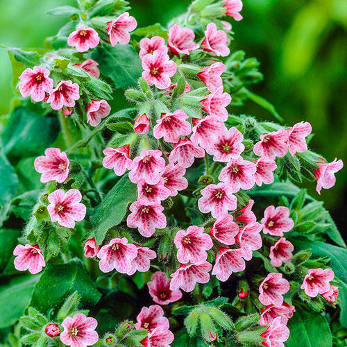 Barfield Pink Lungwort