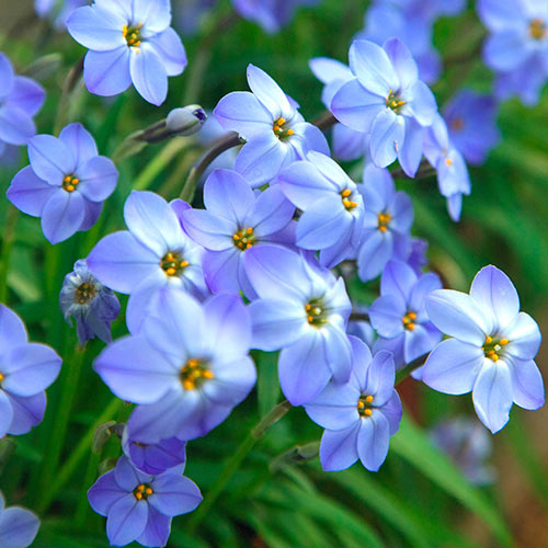 Blue Spring Starflower