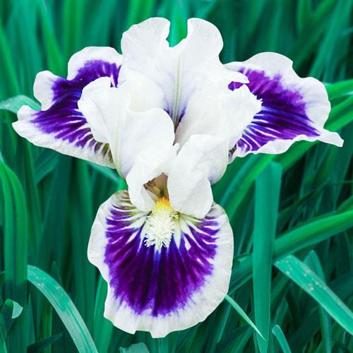 Riveting Dwarf Bearded Iris
