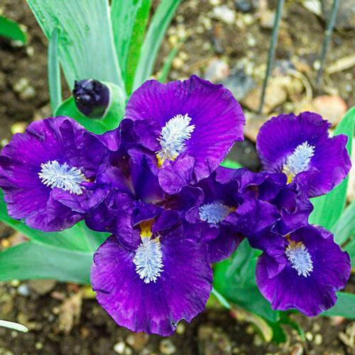 Trajectory Dwarf Bearded Iris