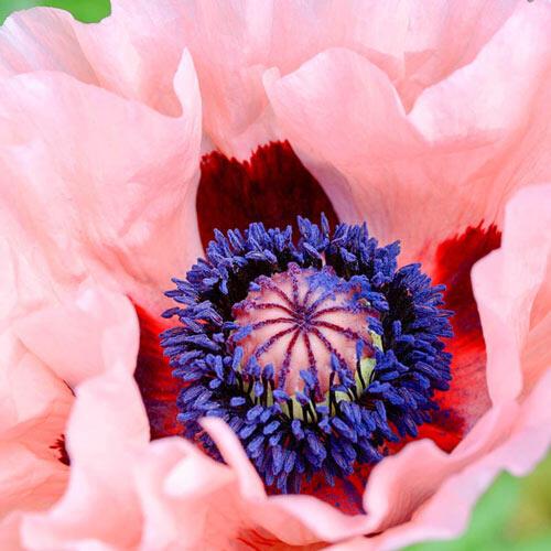 Mrs Perry Oriental Poppy