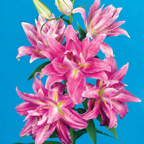 Sweetheart Double Oriental Lily