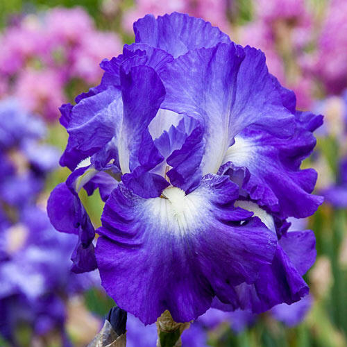 City Lights Reblooming Bearded Iris