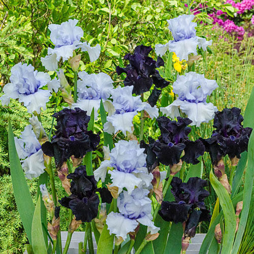 Magical Moments Bearded Iris Duet