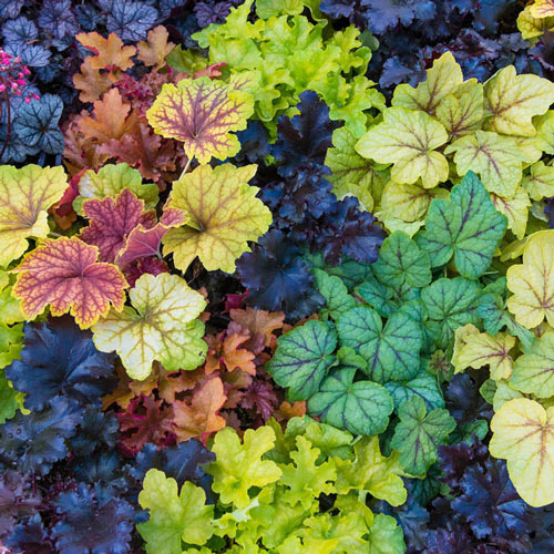 Heuchera Mixture