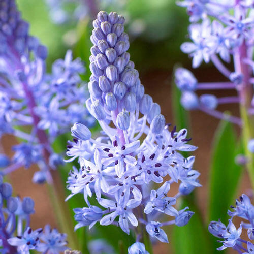 Wood Squill
