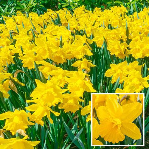 Yellow Trumpet Daffodil Super Sak®